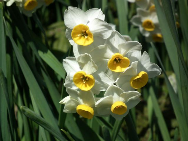 二宮町・吾妻山に咲く水仙の花(1)