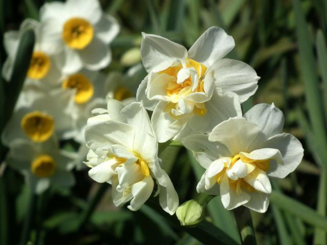 二宮町・吾妻山に咲く水仙の花(2)