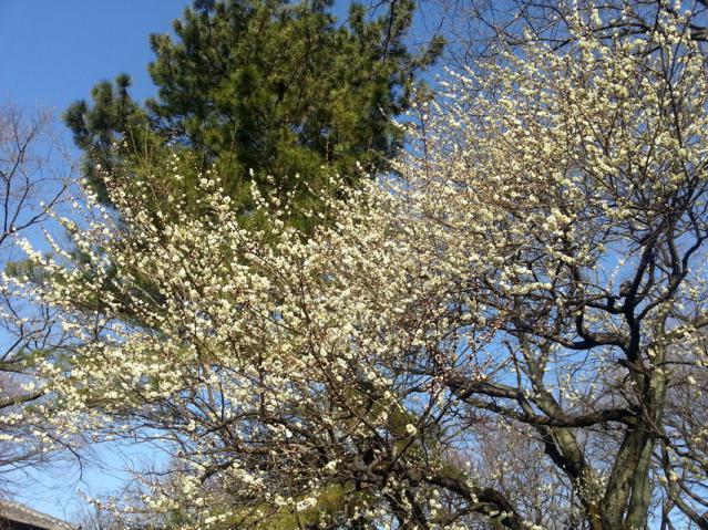 大倉山公園の梅の花(1)