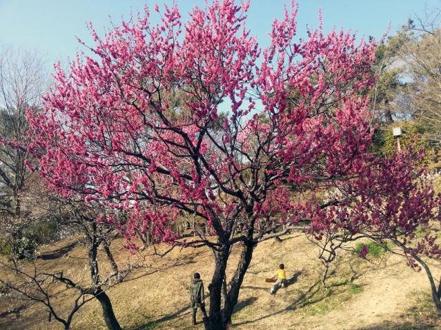 大倉山公園の梅の花(2)