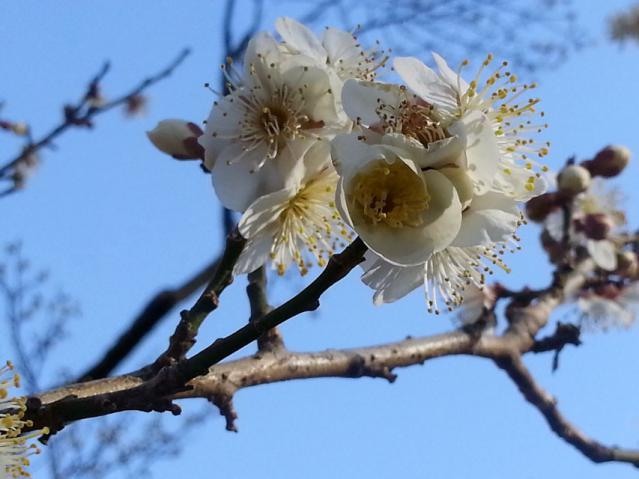大倉山公園の梅の花(3)