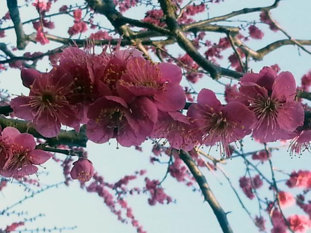 大倉山公園の梅の花(4)