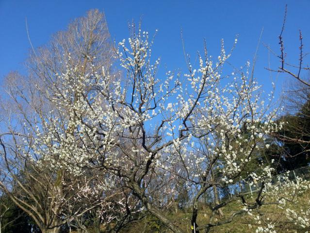 大倉山公園の梅の花(5)