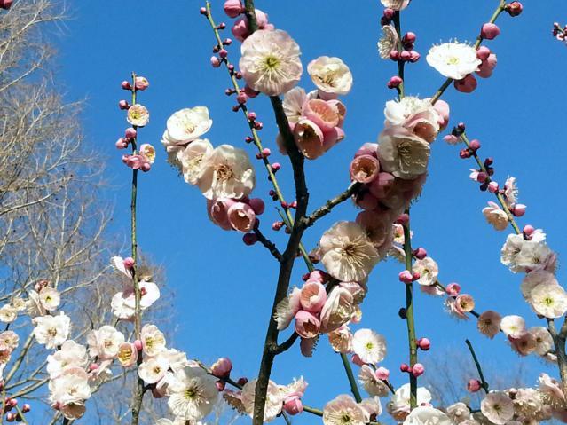 大倉山公園の梅の花(6)