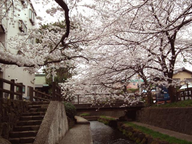 二ヶ領用水地の桜(2)