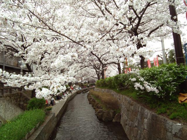 二ヶ領用水地の桜(3)