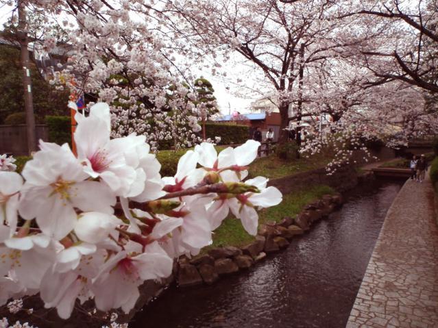 二ヶ領用水地の桜(4)