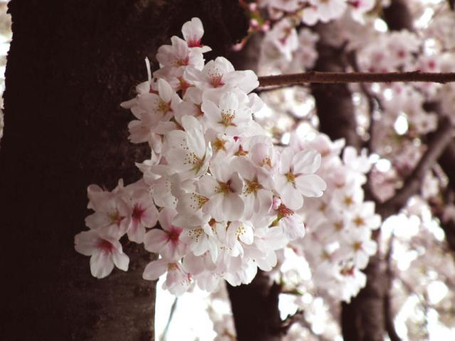 二ヶ領用水地の桜(5)