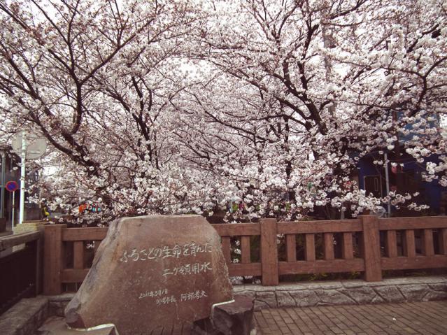 二ヶ領用水地の桜(1)