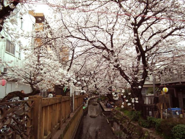 二ヶ領用水地の桜(6)