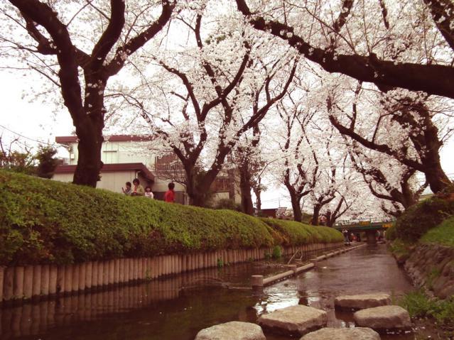 二ヶ領用水地の桜(7)