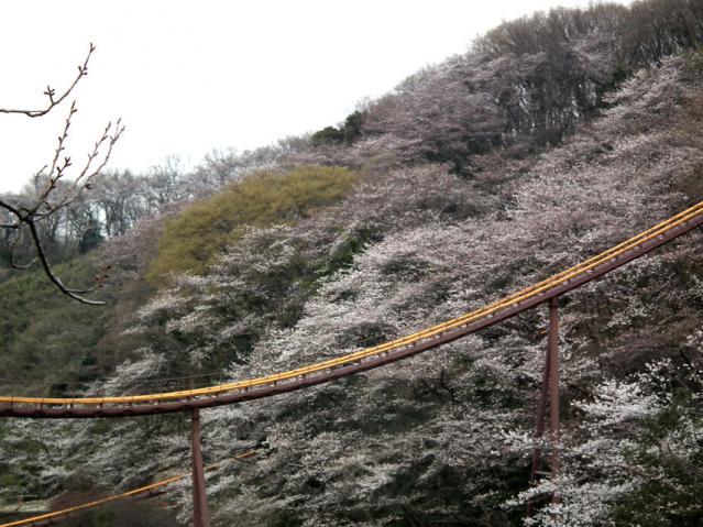 よみうりランドの桜(1)