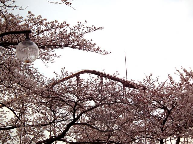 よみうりランドの桜(2)
