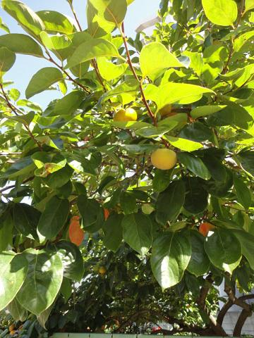 知人のところの甘柿