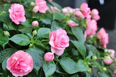 flower-20130705.jpg