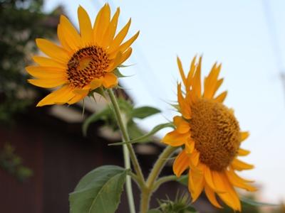 flower-20130815.jpg