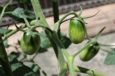 tomato-20130617-02.jpg