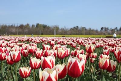 tulip01-20130429.jpg