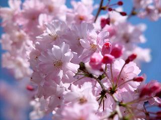 桜  25
