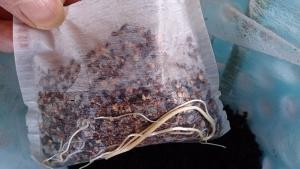 2013-10-14 つるなしスナップ 移植前根の様子