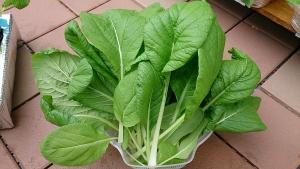 2013-10-19 ビタミン菜 収穫