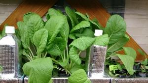 2013-10-19 ビタミン菜 収穫前