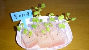 2013-09-19 ビタミン菜