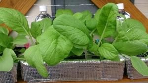 2013-10-10 ビタミン菜