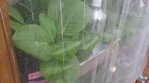 2013-10-24 雨の栽培棚1