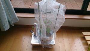 2013-09-30 つるなしいんげん 防虫ネット