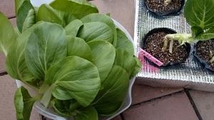 2013-10-30 チンゲン菜収穫