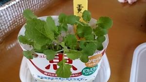 2013-11-1 黄からし菜 定植前