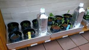 2013-11-1 葉大根 からし菜 栽培棚へ