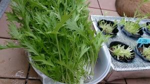 2013-11-02 水菜収穫