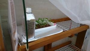 2013-11-07 ラディッシュ 栽培棚へ