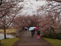 雨のソメイヨシノ