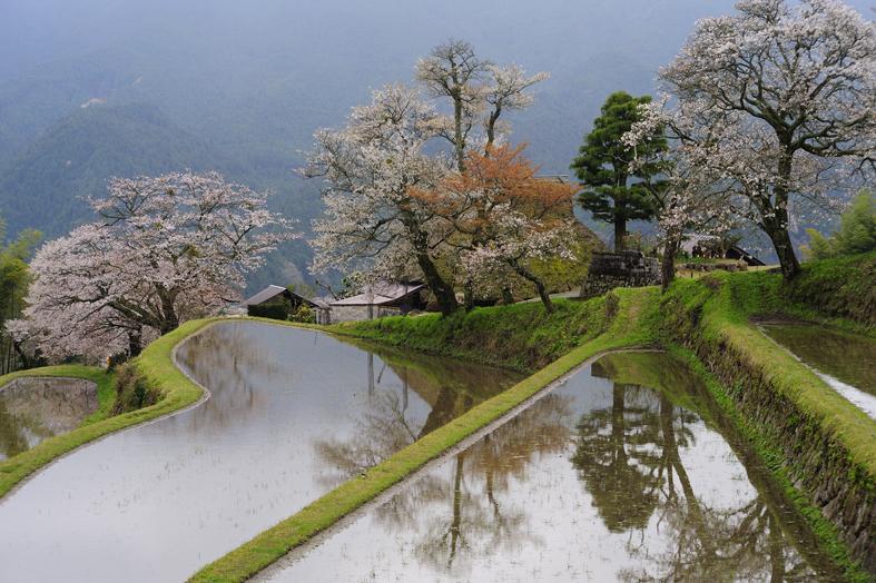 _DSC4630_三多気の桜
