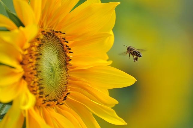 ミツバチ(1)