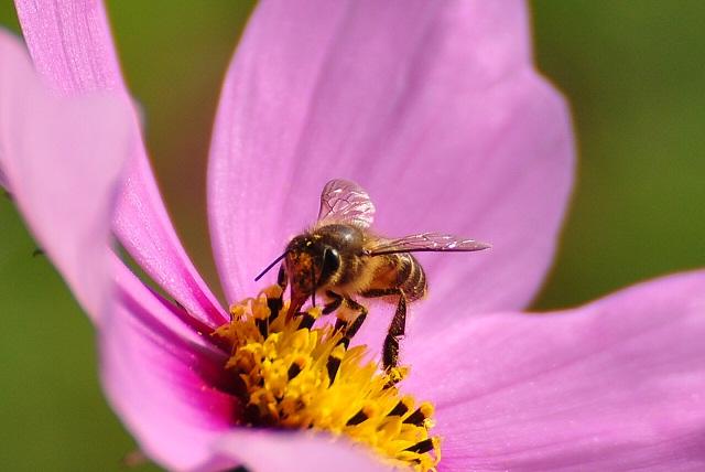 ミツバチ(4)