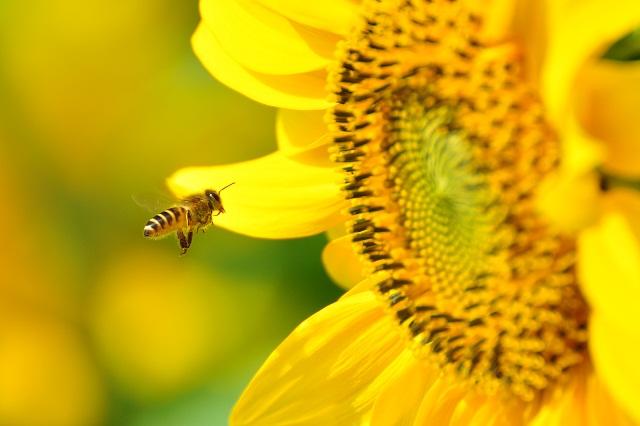 ミツバチ(2)