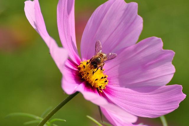 ミツバチ(3)