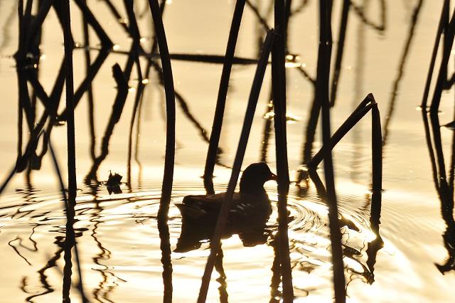 黄金色に輝く蓮池