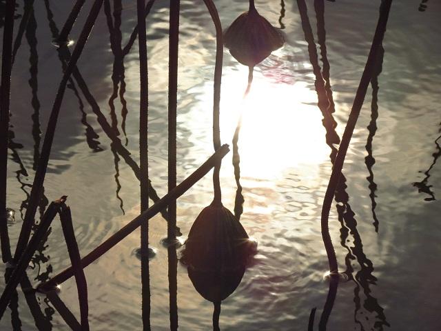 冬の蓮池(2)