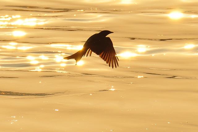 黄昏の川面を舞う鳥(4)