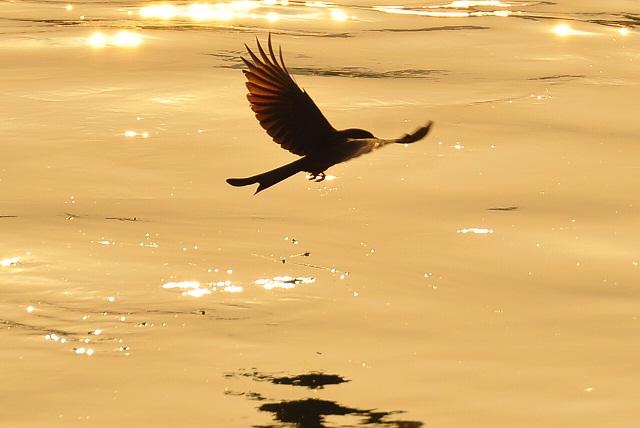 黄昏の川面を舞う鳥(3)