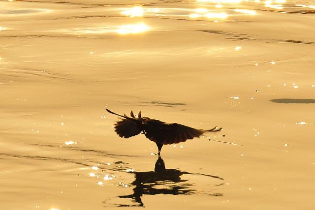 黄昏の川面を舞う鳥(2)