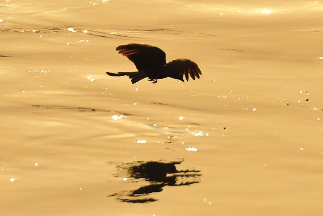 黄昏の川面を舞う鳥