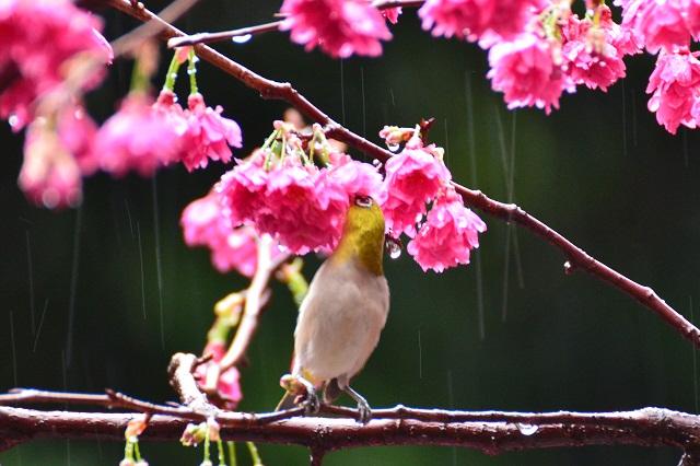 桜とメジロ(3)