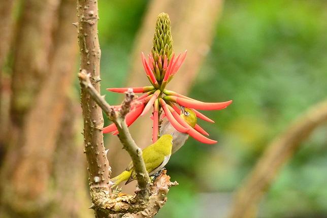 エキゾチックな木とメジロ(1)