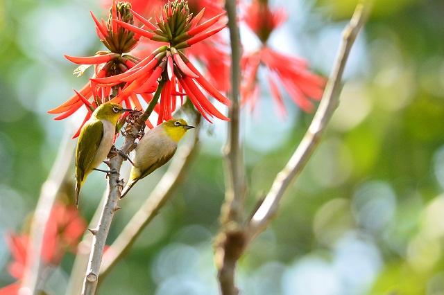 エキゾチックな木とメジロ(4)